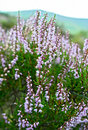 Common Heather in central Scotland Royalty Free Stock Image