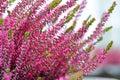 Common heather flowers