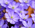 Common hepatica anemone hepatica the also known as liverwort kidneywort or pennywort is a herbaceous perennial growing from a Stock Photography