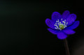 Common hepatica closeup a single with black background the symbol of springtime Royalty Free Stock Photography