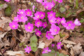 Common hepatica violet color of flower Royalty Free Stock Image