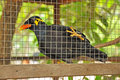 Common hill myna in the cage Stock Images