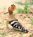 Common hoopoe Stock Image