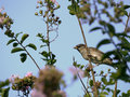 Common house sparrow in crepe myrtle Royalty Free Stock Photo