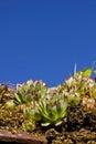 Common houseleek - Sempervivum tectorum Stock Photography