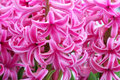 Common hyacinth Royalty Free Stock Images