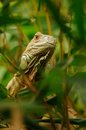 Common iguana iguana iguana this lizard you can also call green Royalty Free Stock Images