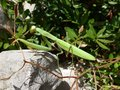 The common Indian or laboratory stick insect