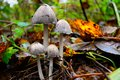 Common ink cap mushrooms coprinus atramentarius in english woodland Stock Photo