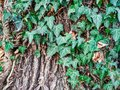 Common ivy botany herb on a tree wood found in nature with mysterious and fantasy feeling to it in beautiful green color
