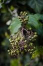 Common ivy Royalty Free Stock Photo