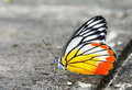 Common jezebel butterfly close up or delias eucharis on grunge concrete floor Royalty Free Stock Photo