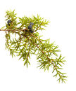 common juniper twig with ripe and unripe berries Royalty Free Stock Photo