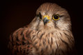 Common Kestrel Closeup Stock Photo