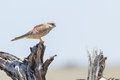 Common Kestrel On Dead Stump Royalty Free Stock Photo