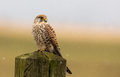 Common kestrel falling snow Royalty Free Stock Images