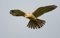 Common Kestrel in flight Stock Photo