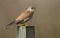 Common kestrel on a pole Royalty Free Stock Photos