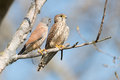 Common kestrel sitting on a branch Royalty Free Stock Photos
