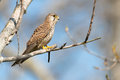 Common kestrel sitting on a branch Stock Photos