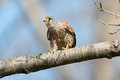 Common kestrel sitting on a branch Stock Photography