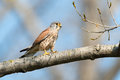 Common kestrel sitting on a branch Stock Photo