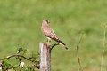 Common kestrel standing and ready to hunt jura france falco tinnunculus Stock Photos
