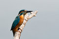 Common kingfisher( Alcedo att Stock Image