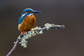 Common Kingfisher Alcedo atthis adult male Royalty Free Stock Image