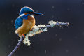 Common Kingfisher Alcedo atthis adult male Stock Image