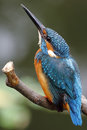 Common kingfisher alcedo atthis bird at thailand Royalty Free Stock Images