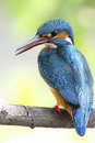 Common kingfisher alcedo atthis bird in thailand Stock Photo