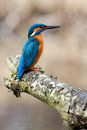 Common kingfisher the alcedo atthis on closeup Royalty Free Stock Image