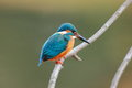 The Common Kingfisher Royalty Free Stock Photo