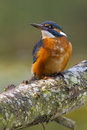 Common kingfisher a alcedo atthis perching on a branch Royalty Free Stock Photo