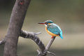 Common kingfisher a alcedo atthis perching on a branch india Royalty Free Stock Images