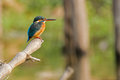 Common kingfisher Alcedo atthis sitting on tree branch Royalty Free Stock Photo