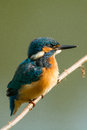 Common kingfisher this beautiful you cannot see very often in the netherlands Royalty Free Stock Images