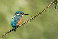 Common kingfisher this beautiful you cannot see very often in the netherlands Stock Images