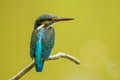 Common kingfisher the catch on the branch in nature Royalty Free Stock Photos