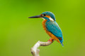 Common kingfisher close up of Royalty Free Stock Image