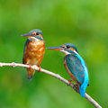 Common kingfisher couple of is perching on a branch alcedo atthis Royalty Free Stock Photo