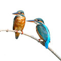 Common kingfisher couple of is perching on a branch alcedo atthis on white background Royalty Free Stock Images