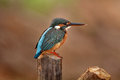 Common Kingfisher (Female) Stock Photo