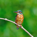 Common kingfisher a female is perching on a branch alcedo atthis Royalty Free Stock Photography