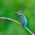 Common kingfisher a female is perching on a branch alcedo atthis Stock Image