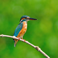 Common kingfisher a female is perching on a branch alcedo atthis Royalty Free Stock Images