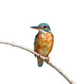 Common kingfisher a female is perching on a branch alcedo atthis on white background Royalty Free Stock Photo