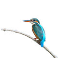 Common kingfisher a female is perching on a branch alcedo atthis on white background Stock Photography
