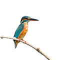 Common kingfisher a female is perching on a branch alcedo atthis on white background Stock Photo